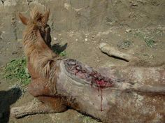 THAT IS THE HORSES SPINE!!!!!!!Nepal, horse zaharowany, tortured to death by carrying bricks in the construction of the factory .... when I do not have to die to work forces alone with famine and thirst slow death. (Translated by Bing) Here is a link to make your voice heard!!!!!  https://groups.google.com/forum/m/#!topic/humanrightsletters/YOi0fEd2Z5A