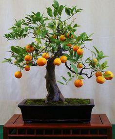 Mandarin Orange Bonsai Tree Citrus