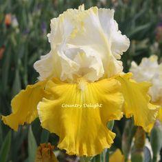 TB Iris germanica 'Hold Everything' (Maryott, 2001)