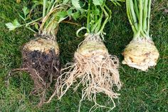 zeller-fogyasztasa Backyard For Kids, Diy For Kids, Root Recipe, Growing Seedlings, Lopez Island, Celeriac, Winter Vegetables, Herbs Indoors, Roots