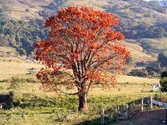 Resultado de imagem para árvores brasileiras