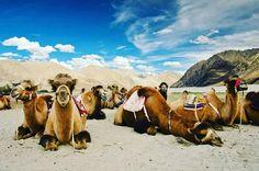 Double Hump CamelsNubra valleyLadakh India... #DiskitMonastrey #NubraValley #ColdDesert #Leh #Ladakh #India #DoubleHumpCamels #HighestColdDesert #Junoon_E_Ladakh #RoadTrip #Travel #Traveller #TravelDiaries #AdventureDiaries #Wanderer #Wanderlust #Explorer #ExploreWithA2Z #StartsMay2017 #PlanWithA2Z #A2ZAdventure #JoinA2Z #DreamComeTrue #IncredibleIndia