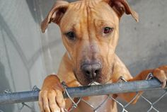 Executed on 4/12/13. Brooklyn Center - P.  MARIA's animal ID # was A0960848. She was a two-year-old brown and white pit bull mix.
