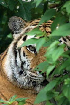 Siberian Tiger Russia