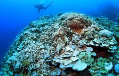 More than 90 percent of coral in the Sekisei Lagoon in Okinawa has bleached.