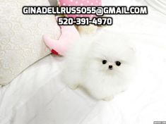 Cheap Akc Teacup Pomeranian Puppies For For sale United States Pets – 1 AMAZING MICRO TINY TEACUP ICE WHITE POMERANIAN PUPPY CHARLOTTE For sale Charlotte Pets Dogs Source by katrinaboggs8 The post AMAZING MICRO TINY TEACUP ICE WHITE POMERANIAN PUPPY CHARLOTTE For sale Charlotte Pets Dogs appeared first on Welch Puppies. Micro Pomeranian, White Pomeranian Puppies, Teacup Pomeranian, Tiny Puppies, Puppies For Sale, Pet 1, Pet Dogs, Toy Dog Breeds