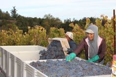 Filling up the bins with Cabernet Sauvignon grapes, then carefully sorting them as we go.