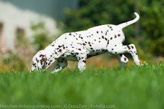 Mantrailing – die Königsdisziplin der Sucharbeit – Hundeerziehung online