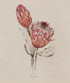 Protea illustration for NZ Home and Garden Magazine by Kelly Thompson .nz - Another! Flor Protea, Protea Art, Protea Flower, Art And Illustration, Motif Floral, Arte Floral, Botanical Flowers, Botanical Prints, Illustration Botanique