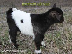 2017 Goat Kids Have Arrived! Fainting Goat, The Barnyard, New Kids, Ash, Goats, Mountain, Miniatures, Babies, Cute