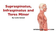 091 Supraspinatus, Infraspinatus, and Teres Minor