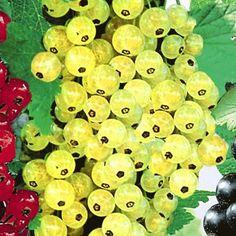 Johannisbeere 'Goldgelbe Versailler',1 Pflanze