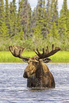 Bull Moose (alces alces) Feeding on the Lakes of Canada