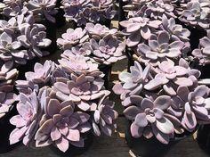 Succulent Plant Graptopetalum Pentandrum. A by SucculentBeauties