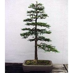 Sequoia Bonsai - keywordpictures.com