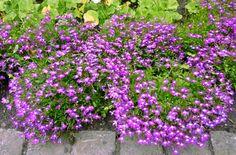 42 Best Lobelia Images In 2015 Planting Flowers Gardens Outdoor