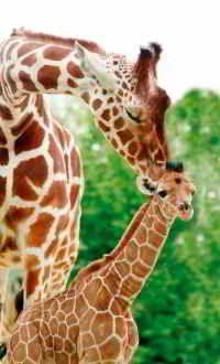 City of Rotterdam - zoo, architecture Jungle Animals, Baby Animals, Funny Animals, Cute Animals, Wild Animals, Giraffe Pictures, Animal Pictures, Cute Pictures, Rotterdam Zoo