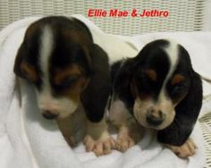 Ellie Mae is an adoptable Basset Hound Dog in Slidell, LA. Ellie Mae a girl and Jethro a boy are the cuties baby Basset Hound born 2-7-2012. They were born at the shelter since their mother was at our...