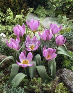 Species Tulip 'Magenta Queen' (Tulipa humilis)