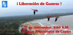 Acompañenos a este evento de liberación de Guacamayas o Guaras, ave nacional de Honduras  Honduras is Great