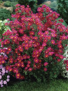 Aster novi-belgii: Crimson Brocade Michaelmas Daisy in the big bed. Fall Flowers, Red Flowers, Summer Flowers, Flowers Perennials, Planting Flowers, Flowers Garden, Michaelmas Daisy, Aster Flower, Gardens