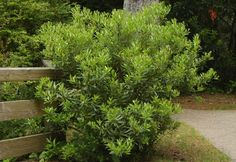 Pacific Wax Myrtle:   great, easy evergreen - good for screening or back drop  in the NW  michaelmuro.com