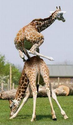 Giraffe jumping