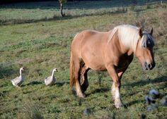 cheval et oies