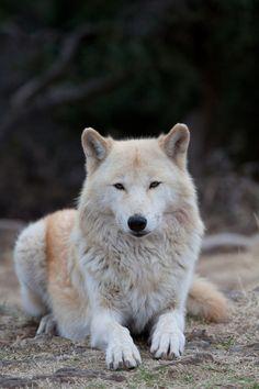 Alpha female Alaskan grey wolf by Ritu Vincent