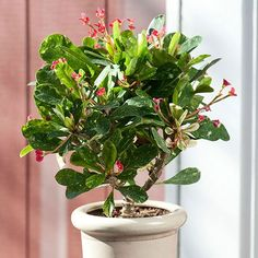Even when not in bloom, Crown of Thorns, makes an attractive houseplant because of its gray-green stems: http://www.bhg.com/gardening/houseplants/projects/easiest-houseplants-you-can-grow/?socsrc=bhgpin020715crownofthorns&page=26