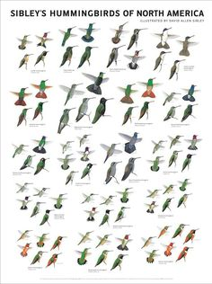 Sibley's Hummingbirds of North America, illustrated by David Allen Sibley - poster