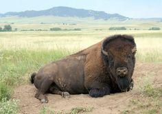 Buffalo at Ft. Robinson