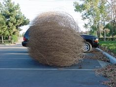 tumbleweed in west texas the smaller ones seem to be devious as they wait on the side of the road till you drive by the they jump under your car to be draged along sometimes creating sparks.