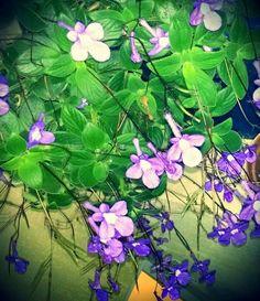Violeta Aérea