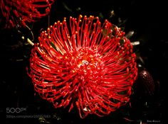 'Red Flower' by tlbphotovideo
