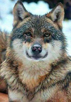 Gut genährter Wolf