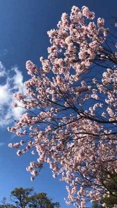 A Sakura tree in Kyoto during spring. [Video] in 2020 Kyoto, Cherry Blossom Japan, Cherry Blossoms, Cherry Blossom Wallpaper, Japan Sakura, Japanese Tree, Beautiful Landscape Wallpaper, Flower Video, Japanese Landscape