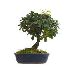 Vente de Bonsai Chêne Blanc Quercus Pubenscens 35 cm CHN140901 Sankaly Bonsaï, Magasin Bonsai en Ligne #bonsai #sankaly #sankalybonsai #sankaly-bonsai #pinus #pentaphylla #azalea #satsuki #acer #palmatum #deshojo #ficus #retusa #ulmus #parvifolia #shohin