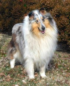 Blue Merle Rough Collie--like Bonnie Blue in THE LEMON ORCHARD