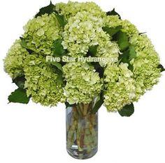 Jumbo Green Fresh Wedding Hydrangeas by Five Star Hydrangeas