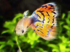 pez pez pez ...