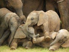 Adorable baby #elephants at play. ~ETS
