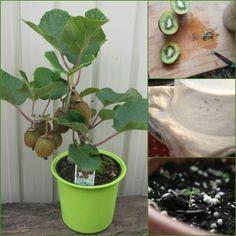 Meyveler arasından tadı ile oldukça sevilen ve yapısı ile dikkat çeken kiviyi evde kolayca yetiştirebilirsiniz. Evde kivi tohumundan kivi yetiştirmenin aşamalarını ve püf noktaları sizler için hazırladık.