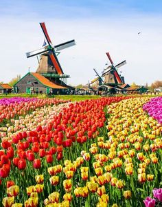 Day Trips From Amsterdam, Amsterdam Things To Do In, The Hague Netherlands, Dutch Tulip, Tulip Fields, Anne Frank, Le Moulin, Rembrandt, Travel Posters