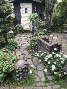 白くてかわいいオルレア。こぼれ種でたくさん咲きました。