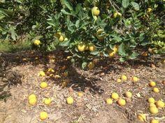 Florida Citrus Greening Disease Decimates Crops-NBC News