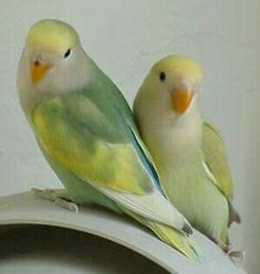 Peachfaced lovebirds come in a variety of colors. Below are some photos. They are all Agapornis roseicollis. Remember, color mutations occur within the same Love Birds Pet, Small Birds, Colorful Birds, African Lovebirds, Pets For Sale, Bird Wallpaper, Love Your Pet, Budgies, Parrots