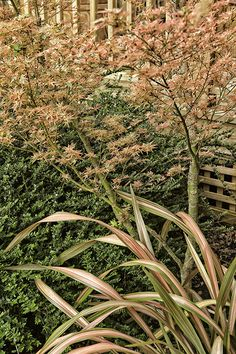 Acer palmatum 'Beni Schichihenge' and Phormium 'Jester'