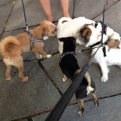 heididahlsveen:  Gutta på haugen tuller (seg sammen) #atsjoo #dogs #hunder