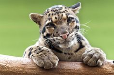 The commercial trade in clouded leopards is steadily increasing while their numbers are decreasing. Urge officials to ban the import and export of this endangered cat so that it does not become extinct.